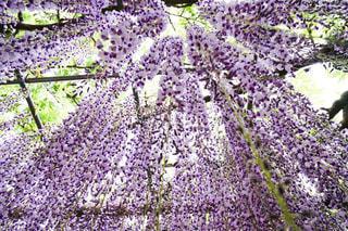 見上げて愛でる天空のフジの花園の写真・画像素材[2066479]