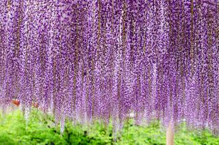 新緑の中で紫雲のようにたなびく藤の花の写真・画像素材[2066566]