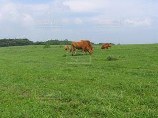 新緑の阿蘇の牧草地の牛に癒されての写真・画像素材[2088993]