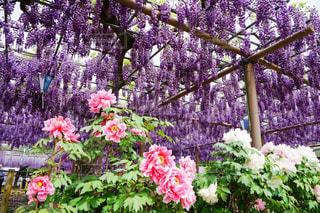 美しい藤棚と牡丹の花に感動の写真・画像素材[2089267]