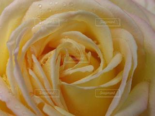 雫を浴びたバラの花びらの写真・画像素材[2115832]