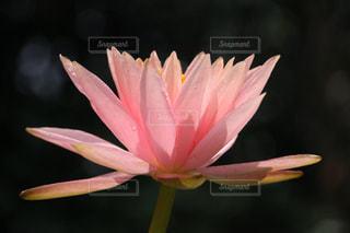 雨上がりの雫を浴びた神々しい睡蓮の花の写真・画像素材[2115846]