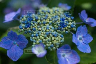 小さな蕾の花も可愛い額紫陽花の写真・画像素材[2133470]