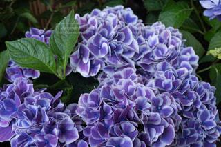 白い縁取りの美しい紫色の紫陽花の写真・画像素材[2133606]