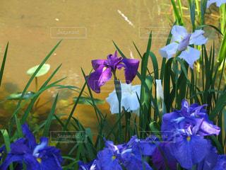 絵画のように美しい百年公園の菖蒲の写真・画像素材[2152856]