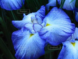 繊細で魅力的な美しい菖蒲の花びらの写真・画像素材[2152895]