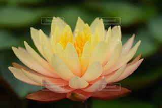華やかで神秘な美しい黄色の睡蓮の写真・画像素材[2171241]