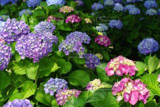 美しい紫陽花のように梅雨を乗り切りたいの写真・画像素材[2183150]