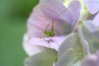 小さな虫も紫陽花のファンの写真・画像素材[2183286]