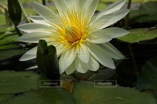 花びらに吸い込まれそうな明るく美しい睡蓮の写真・画像素材[2265873]