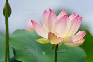 優しいピンク色の神聖なハスの花の写真・画像素材[2266059]