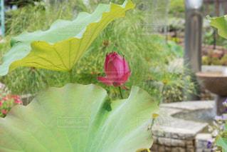 大きな葉の下の可愛いハスの蕾の写真・画像素材[2266103]