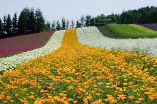 富良野の丘に咲く美しいお花畑の写真・画像素材[2285882]