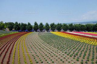 美しい富良野の縦じまストライプのお花畑の写真・画像素材[2285901]