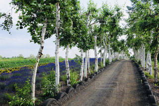 ラベンダー畑を横に白樺の木々の中をカートで走り快適の写真・画像素材[2299186]