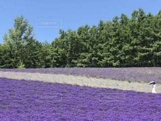 富良野の美しい3種類のラベンダー畑の写真・画像素材[2301869]