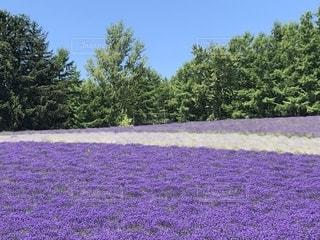 青空と緑に映える富良野の美しいラベンダー畑の写真・画像素材[2301929]