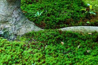 心和むお寺の大木とスギゴケの緑の写真・画像素材[2313300]