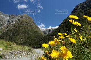 ニュージーランドの黄色の花の写真・画像素材[2319594]