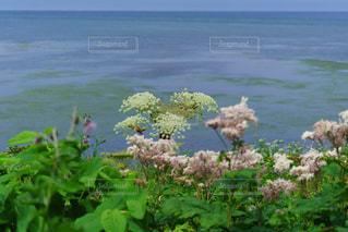 稚内から宗谷岬の海岸沿いに咲く大自然の花の風景の写真・画像素材[2319920]