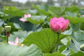 心落ち着く美しい神秘なハスの花の写真・画像素材[2365070]