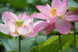美しいピンク色の神聖なハスの花の写真・画像素材[2365135]