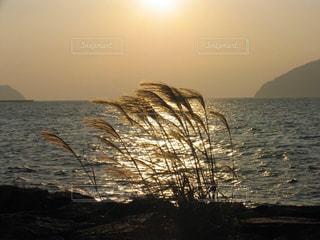 キラキラと夕日になびく琵琶湖のススキの写真・画像素材[2435667]