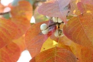 秋を感じる紅葉した葉の写真・画像素材[2550924]