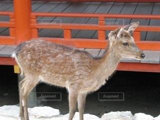 見つめる鹿の眼差しの写真・画像素材[2609837]