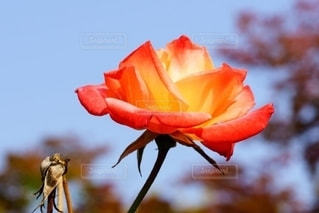 美しい秋色のバラの写真・画像素材[2631376]