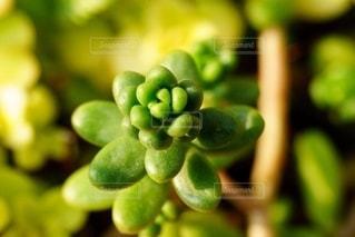 年中元気な多肉植物の写真・画像素材[2666569]