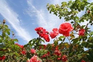 秋空に踊る赤いバラの写真・画像素材[2713203]