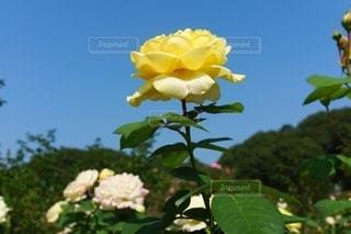 青空と黄色のバラの写真・画像素材[2713247]