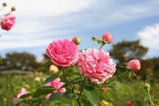 秋空に咲き乱れるピンクのバラの写真・画像素材[2713248]