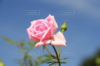 はかない美しいバラの花びらの写真・画像素材[2713272]