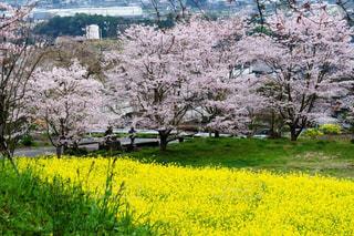 風情ある菜の花と桜の写真・画像素材[2963627]