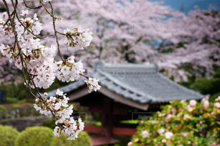 風情あるしだれ桜の写真・画像素材[2963674]