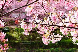 風情ある早咲き河津桜の写真・画像素材[2963726]
