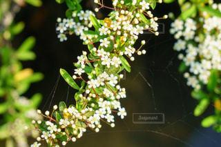 ユキヤナギとクモの糸の写真・画像素材[2980007]