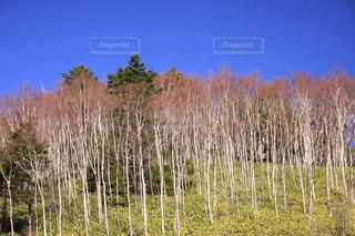 青空に映える美しい白樺の写真・画像素材[3051843]