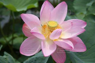 優しいピンクの神聖なハスの花の写真・画像素材[3226849]