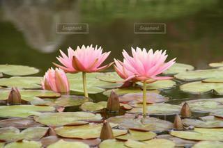 可憐なピンクの睡蓮の写真・画像素材[3357364]