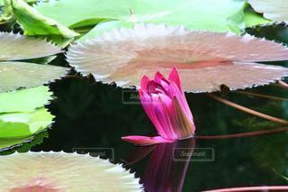 神秘的な睡蓮の写真・画像素材[3569550]