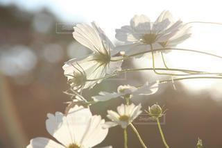 光を浴びる優しい秋桜の写真・画像素材[3641261]