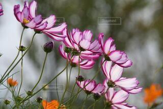 シックな秋桜の写真・画像素材[3694737]