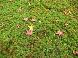 杉苔に舞う落ち葉の写真・画像素材[3810386]