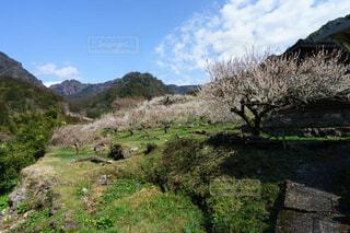 里山の梅風景の写真・画像素材[4356777]