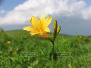 夏の車山高原に咲くニッコウキスゲの写真・画像素材[4687491]