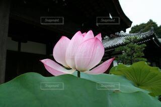 神聖なハスの花の写真・画像素材[4718707]