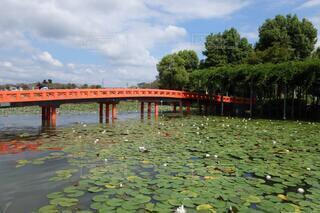 初秋のスイレンが趣き深い天王川公園の写真・画像素材[4925531]